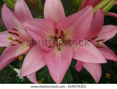 Pink Lily in the garden - stock photo