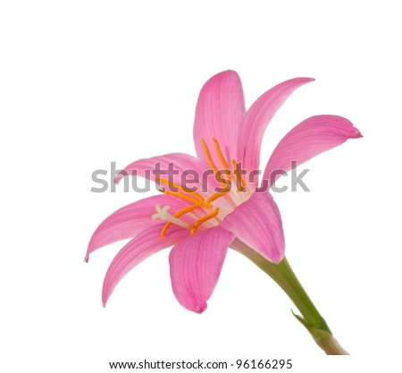 pink lily isolated on  a white background. zephyranthes candida - stock photo