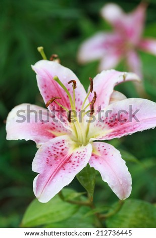 Pink lily (Lilium Acapulco) after the rain, selective focus on the stamens, macro - stock photo