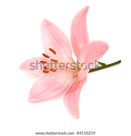 Pink lily on a white background . - stock photo