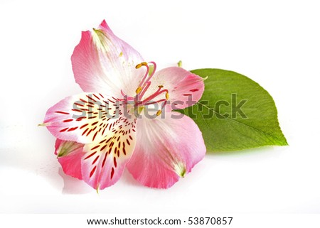 Pink lily on white background - stock photo