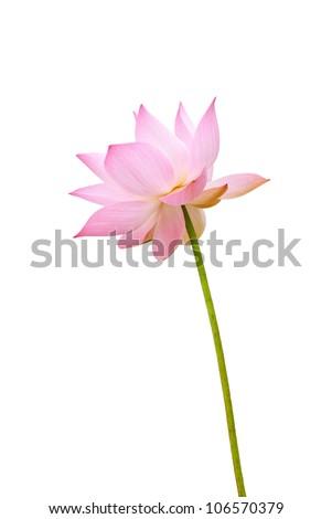 Pink lotus - stock photo