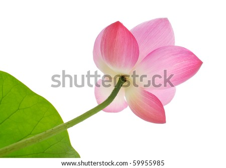 Pink lotus against white background - stock photo