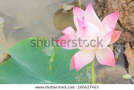 Pink lotus bloom in the marshes in rural areas. - stock photo