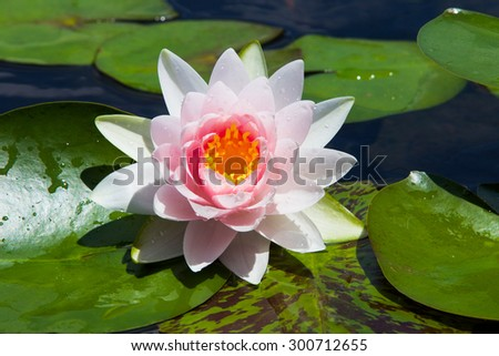 Pink lotus blooming and dark green leaves, This make some slightly blurred lotus leaves. - stock photo
