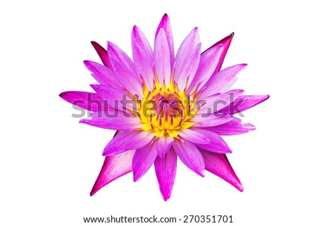 pink lotus blooming isolated on white background   - stock photo