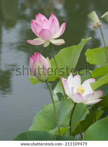 pink lotus blossom against blurred reflection pool background - stock photo