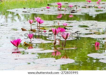 pink lotus blossom or water lily flower blooming on pond - stock photo