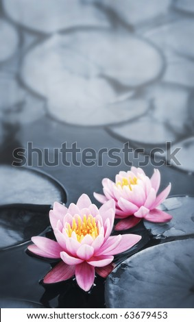 Pink lotus blossoms or water lily flowers blooming on pond - stock photo