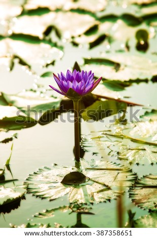 Pink lotus blossoms or water lily flowers blooming on pond in sunlight - stock photo