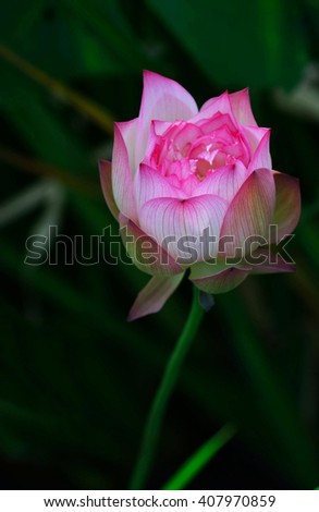 pink Lotus bud and green leaf closeup - stock photo
