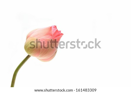 Pink lotus bud flower on white background - stock photo