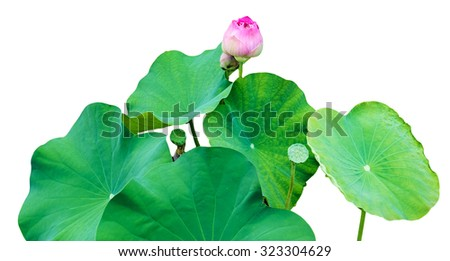 Pink lotus bud leaves green grove white background - stock photo