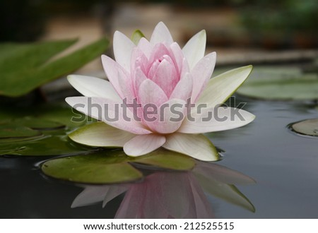 Pink lotus flot on the river gardent - stock photo