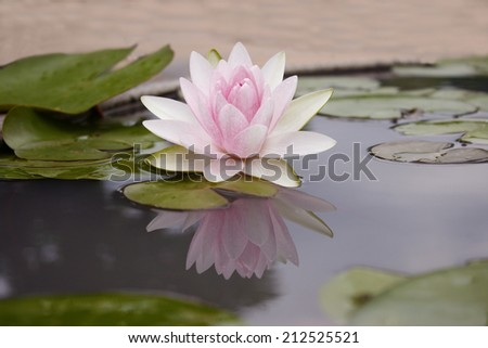 Pink lotus flot on the river gardent