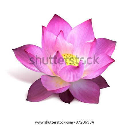 Pink lotus flower - stock photo