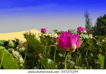 Pink Lotus Flower Amid the White Sand Dunes.