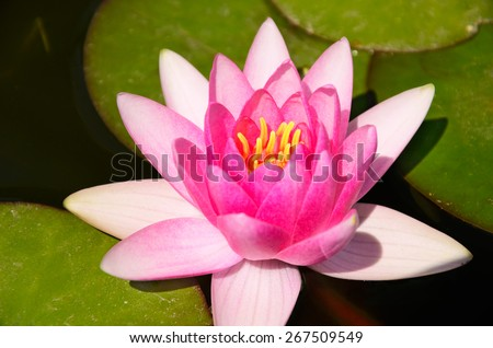 pink lotus flower and leaves in the pond. top view. horizontal - stock photo