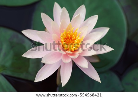 Pink lotus flower as close-up