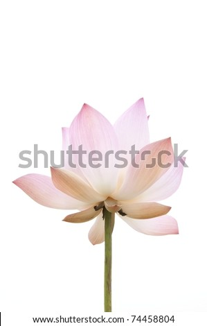 pink lotus flower as white isolate background - stock photo