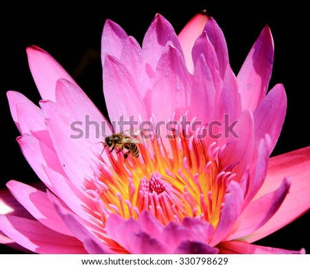 Pink lotus flower blooming and a tiny bee - stock photo