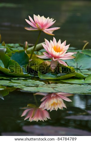 Pink lotus flower blooming at summer.The lotus is national flower for Thailand,India,Kampuchea and Bengal. Lotus flower in Asia is a important culture symbol. - stock photo