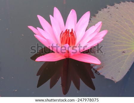 Pink lotus flower blooming in the morning. - stock photo
