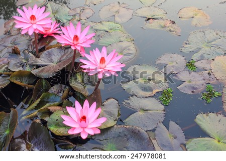 Pink lotus flower blooming in the morning in a canal in rural Thailand. - stock photo