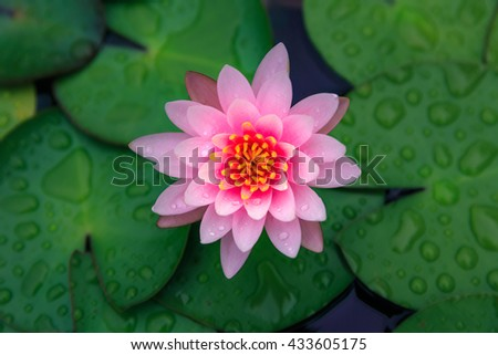 Pink lotus flower blooming or waterlily at of the water surface with green leaf - stock photo