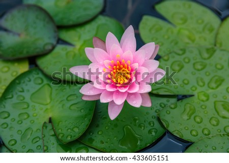Pink lotus flower blooming or waterlily at of the water surface with green leaf and raindrop - stock photo