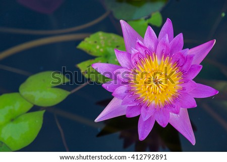 Pink lotus flower blooming ,Water Lilies flower - stock photo