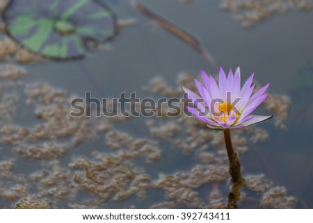 Pink lotus flower blooming ,Water Lilies flower focus on the middle in the pond - stock photo