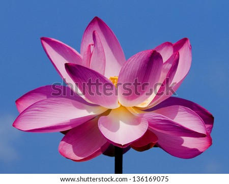 Pink Lotus Flower Blossom - stock photo