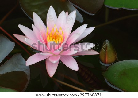 Pink lotus flower in full bloom.