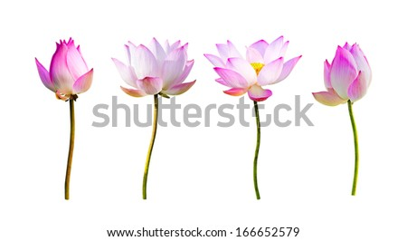 pink lotus flower isolated on white - stock photo