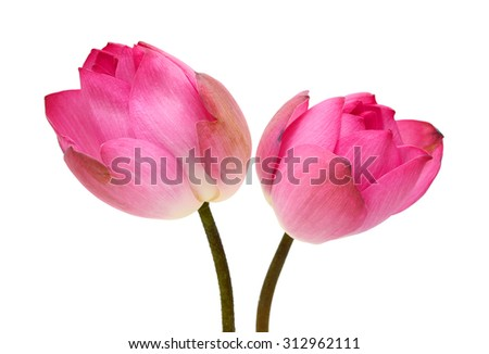 Pink lotus flower isolated on white background - stock photo