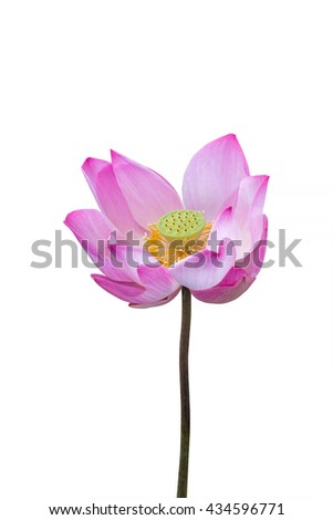 pink lotus flower isolated on white background, Clipping path