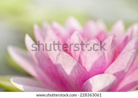 Pink Lotus flower or Water Lilly flower  - stock photo