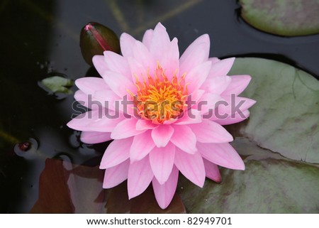 pink lotus flower,shallow dof.