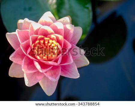 Pink lotus flower details texture on stock photo 343788854 pink lotus flower with details texture on its petals mightylinksfo