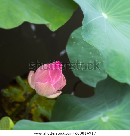 pink lotus flower with fresh green leaf