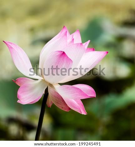 Pink lotus flower sunlight scientific name stock photo edit now pink lotus flower with sunlight scientific name is nelumbo nucifera gaertn mightylinksfo