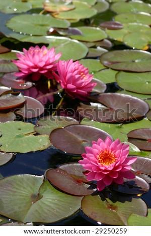 Pink Lotus Flowers - stock photo