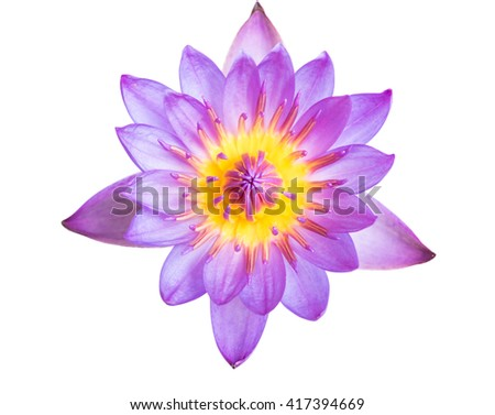Pink Lotus flowers blooming isolated on over white background. - stock photo