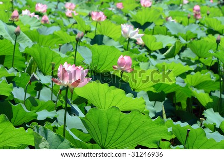 pink lotus flowers in blossom