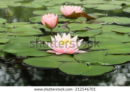 Pink Lotus flowers  (Nymphaea,Waterlily)  in the Garden