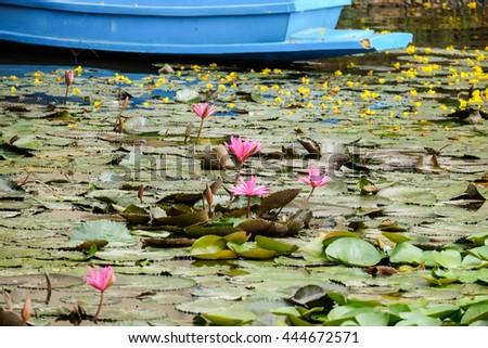 pink lotus flowers on water - stock photo