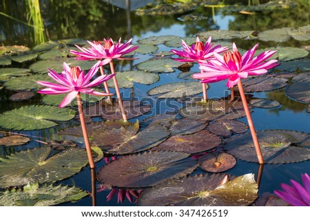 Pink lotus flowers under the sunlight