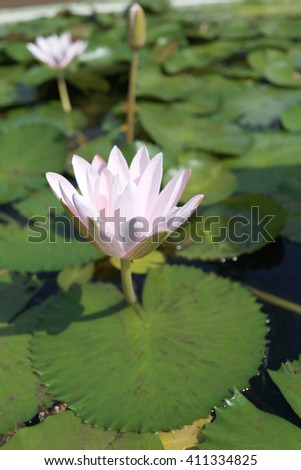 Pink lotus in a pond with bloom in the Morning and green leaves surrounding.