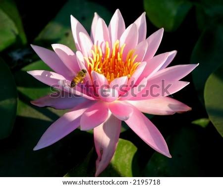 Pink lotus in Japanese Garden - stock photo